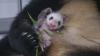에버랜드, 생후 한 달 '아기 판다' 사진 공…